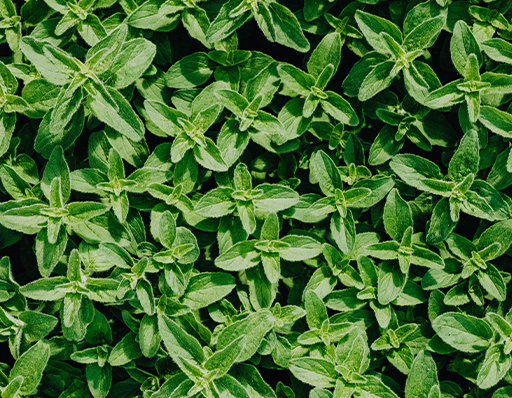Oregano plants
