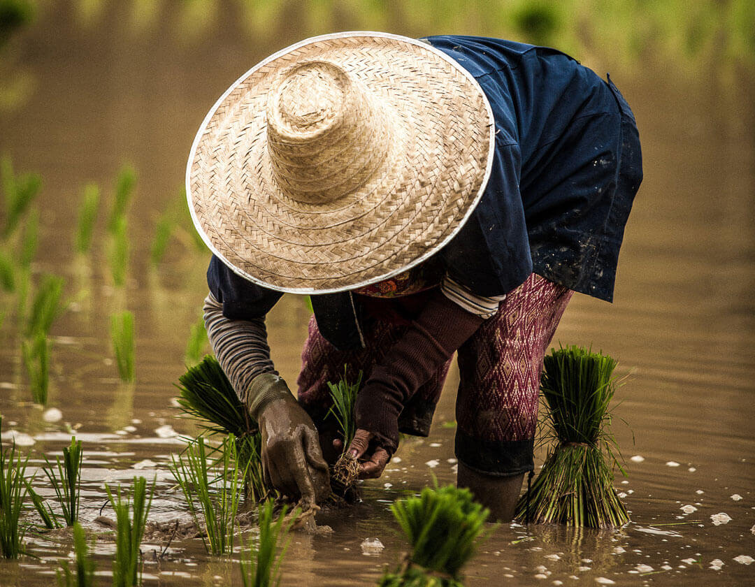 Person harvesting rice crops